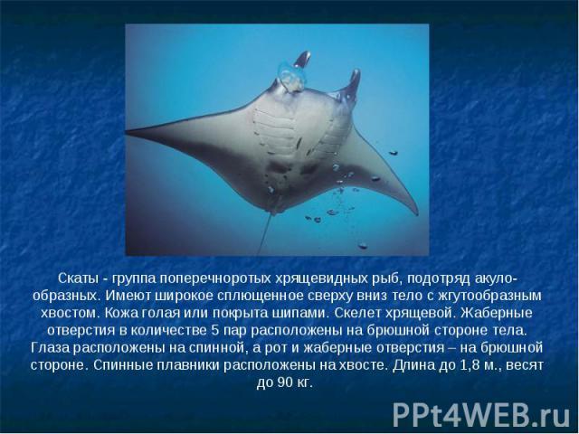 Скаты - группа поперечноротых хрящевидных рыб, подотряд акуло-образных. Имеют широкое сплющенное сверху вниз тело с жгутообразным хвостом. Кожа голая или покрыта шипами. Скелет хрящевой. Жаберные отверстия в количестве 5 пар расположены на брюшной с…