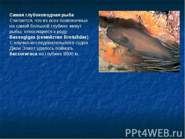 Самая глубоководная рыбаСчитается, что из всех позвоночных на самой большой глубине живут рыбы, относящиеся к роду Bassogigas (семейство Brotulidae). С научно-исследовательского судна Джон Элиот удалось поймать бассогигаса на глубине 8000 м.