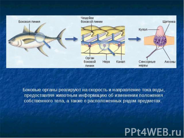 Боковые органы реагируют на скорость и направление тока воды, предоставляя животным информацию об изменении положения собственного тела, а также о расположенных рядом предметах.
