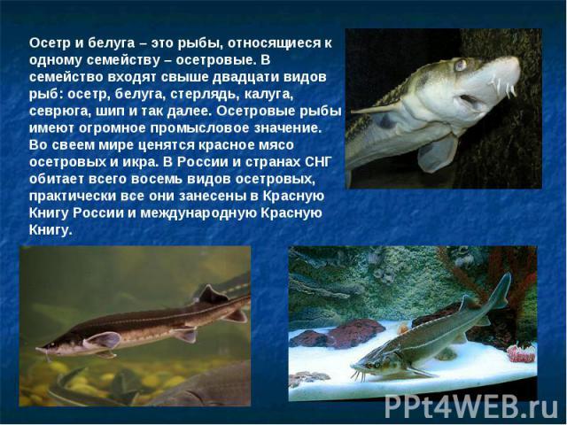 Осетр и белуга – это рыбы, относящиеся к одному семейству – осетровые. В семейство входят свыше двадцати видов рыб: осетр, белуга, стерлядь, калуга, севрюга, шип и так далее. Осетровые рыбы имеют огромное промысловое значение. Во свеем мире ценятся …