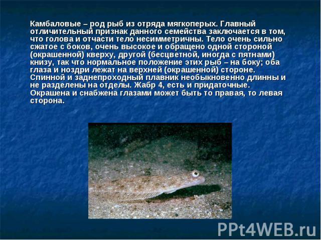 Камбаловые – род рыб из отряда мягкоперых. Главный отличительный признак данного семейства заключается в том, что голова и отчасти тело несимметричны. Тело очень сильно сжатое с боков, очень высокое и обращено одной стороной (окрашенной) кверху, дру…