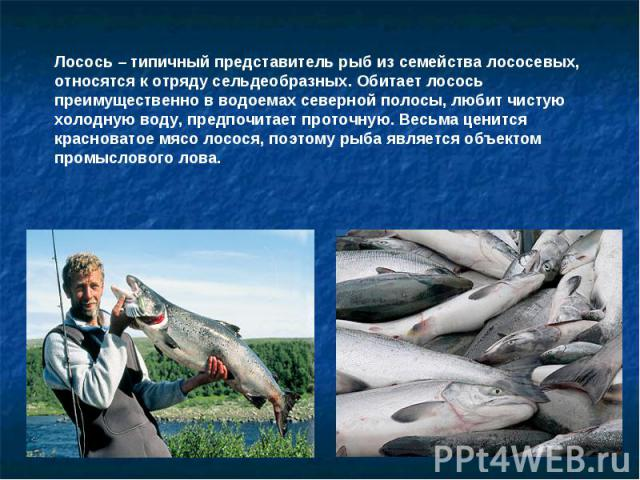 Лосось – типичный представитель рыб из семейства лососевых, относятся к отряду сельдеобразных. Обитает лосось преимущественно в водоемах северной полосы, любит чистую холодную воду, предпочитает проточную. Весьма ценится красноватое мясо лосося, поэ…