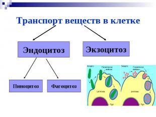 Транспорт веществ в клеткеЭндоцитозЭкзоцитозПиноцитозФагоцитоз
