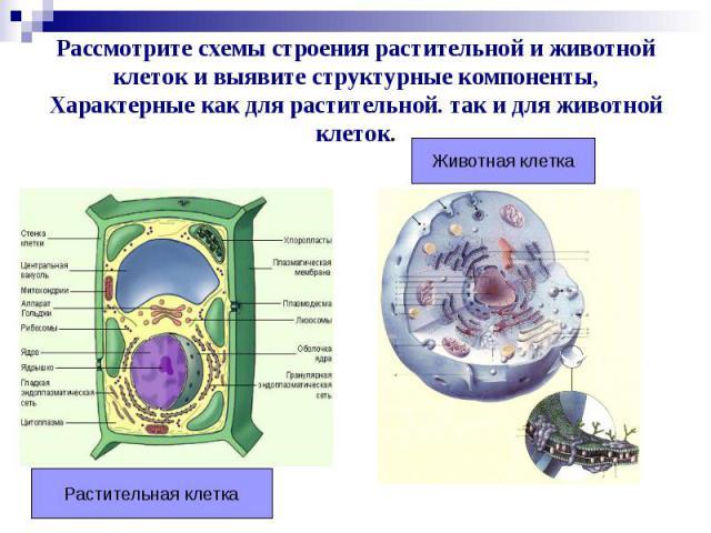 Рассмотрите схемы строения растительной и животной клеток и выявите структурные компоненты, Характерные как для растительной. так и для животной клеток.