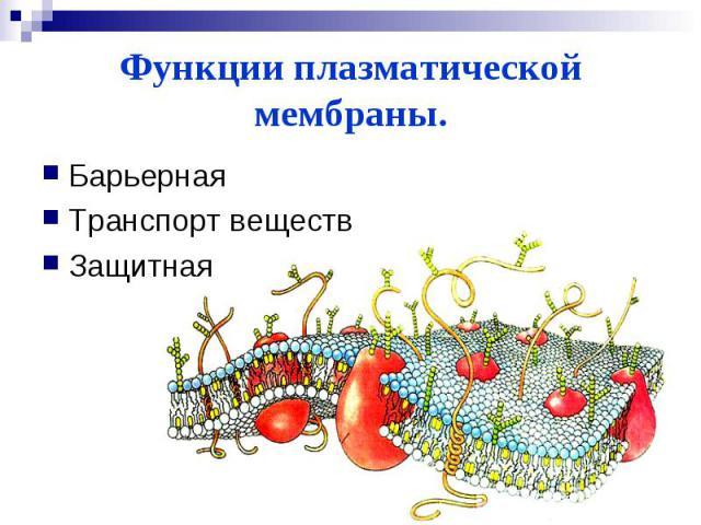 Функции плазматической мембраны.БарьернаяТранспорт веществЗащитная