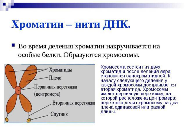 Хроматин – нити ДНК.Во время деления хроматин накручивается на особые белки. Образуются хромосомы.Хромосома состоит из двух хроматид и после деления ядра становится однохроматидной. К началу следующего деления у каждой хромосомы достраивается вторая…