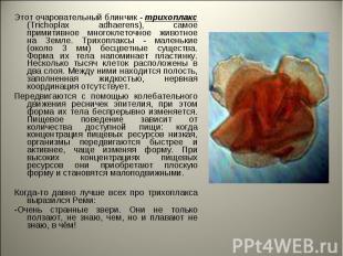Этот очаровательный блинчик - трихоплакс (Trichoplax adhaerens), самое примитивн