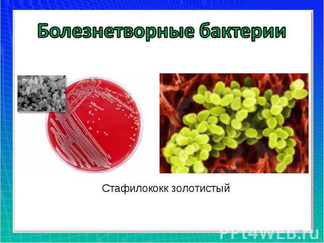 Болезнетворные бактерии Стафилококк золотистый
