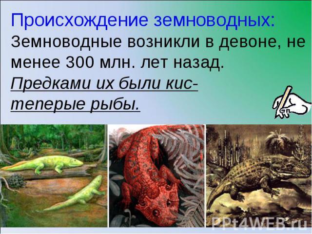 Происхождение земноводных:Земноводные возникли в девоне, не менее 300 млн. лет назад. Предками их были кис-теперые рыбы.