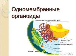 Одномембранные органоиды