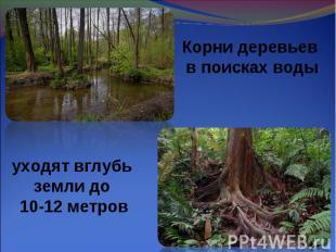 Корни деревьев в поисках воды