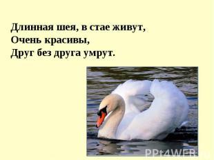 Длинная шея, в стае живут, Очень красивы, Друг без друга умрут.