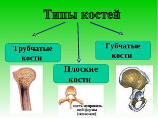 Типы костейТрубчатые кости Плоские кости Губчатые кости