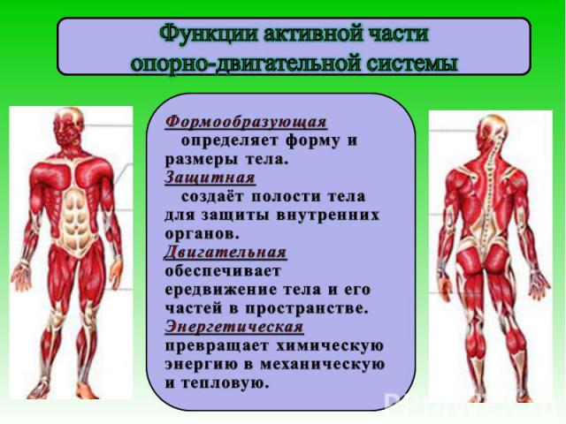 Функции активной частиопорно-двигательной системы Формообразующая определяет форму и размеры тела.Защитная создаёт полости тела для защиты внутренних органов.Двигательная обеспечивает ередвижение тела и его частей в пространстве.Энергетическая превр…