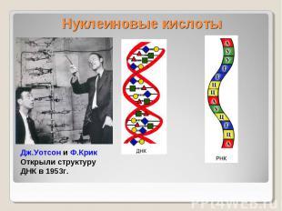 Нуклеиновые кислоты Дж.Уотсон и Ф.КрикОткрыли структуру ДНК в 1953г.