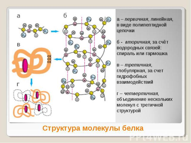 а – первичная, линейная, в виде полипептидной цепочкиб - вторичная, за счёт водородных связей: спираль или гармошкав – третичная, глобулярная, за счет гидрофобных взаимодействийг – четвертичная, объединение нескольких молекул с третичной структуройС…