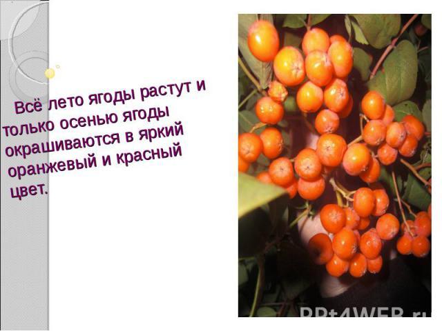 Всё лето ягоды растут и только осенью ягоды окрашиваются в яркий оранжевый и красный цвет.