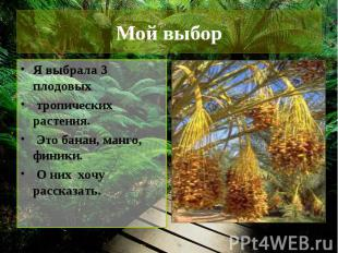 Мой выбор Я выбрала 3 плодовых тропических растения. Это банан, манго, финики. О