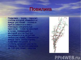 Повилика Повилика – трава – паразит, стебли которой обвиваются вокруг растений –