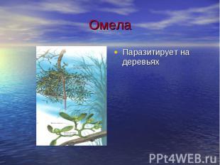 Омела Паразитирует на деревьях