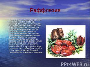 Раффлезия Паразитирует на корнях и стеблях ряда тропических растений, растущих в