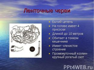 Ленточные черви Бычий цепеньНа голове имеет 4 присоскиДлиной до 10 метровОбитает