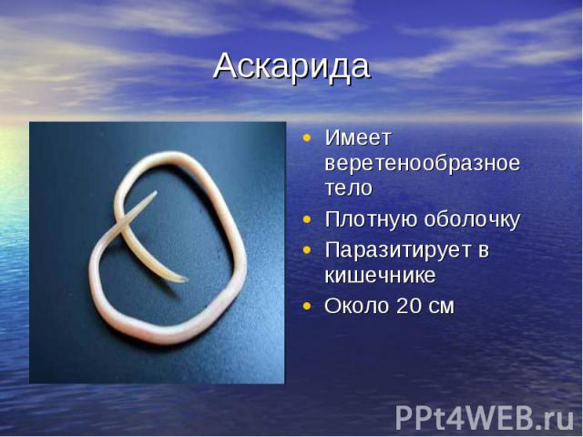 Аскарида Имеет веретенообразное телоПлотную оболочкуПаразитирует в кишечникеОколо 20 см