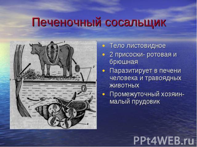 Печеночный сосальщик Тело листовидное2 присоски- ротовая и брюшнаяПаразитирует в печени человека и травоядных животныхПромежуточный хозяин- малый прудовик
