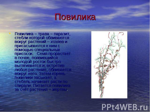 Повилика Повилика – трава – паразит, стебли которой обвиваются вокруг растений – хозяев и присасываются к ним с помощью специальных присосок. Семя прорастает в почве, появившийся молодой росток быстро вытягивается и, встретив любое растение, обвивае…