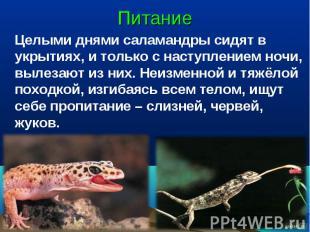 Питание Целыми днями саламандры сидят в укрытиях, и только с наступлением ночи,
