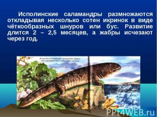 Исполинские саламандры размножаются откладывая несколько сотен икринок в виде чё