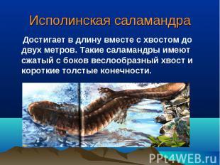Исполинская саламандра Достигает в длину вместе с хвостом до двух метров. Такие