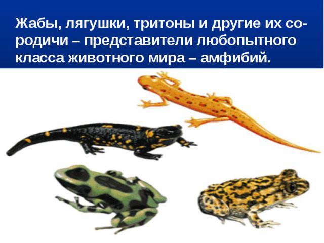Жабы, лягушки, тритоны и другие их со-родичи – представители любопытного класса животного мира – амфибий.