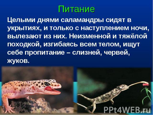 Питание Целыми днями саламандры сидят в укрытиях, и только с наступлением ночи, вылезают из них. Неизменной и тяжёлой походкой, изгибаясь всем телом, ищут себе пропитание – слизней, червей, жуков.
