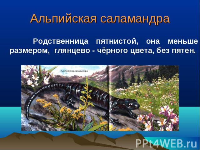 Альпийская саламандра Родственница пятнистой, она меньше размером, глянцево - чёрного цвета, без пятен.