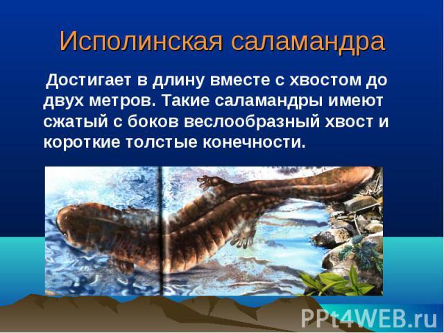 Исполинская саламандра Достигает в длину вместе с хвостом до двух метров. Такие саламандры имеют сжатый с боков веслообразный хвост и короткие толстые конечности.