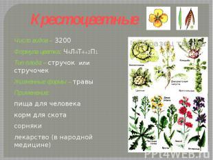 Крестоцветные Число видов – 3200Формула цветка: Ч4Л4Т4+2П1 Тип плода – стручок и