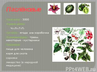Паслёновые Число видов – 3000Формула цветка: Ч(5)Л(5)Т5П1 Тип плода – ягода или