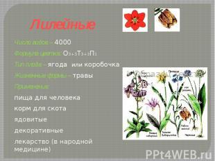 Лилейные Число видов – 4000Формула цветка: О3+3Т3+3П1 Тип плода – ягода или коро