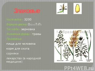 Злаковые Число видов – 3200Формула цветка: О(2)+2Т3П1 Тип плода – зерновкаЖизнен