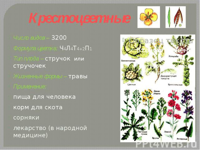 Крестоцветные Число видов – 3200Формула цветка: Ч4Л4Т4+2П1 Тип плода – стручок или стручочекЖизненные формы – травы Применение: пища для человекакорм для скотасорнякилекарство (в народной медицине)