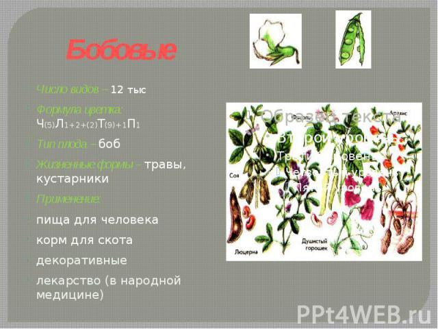 Бобовые Число видов – 12 тысФормула цветка: Ч(5)Л1+2+(2)Т(9)+1П1 Тип плода – бобЖизненные формы – травы, кустарники Применение: пища для человекакорм для скотадекоративныелекарство (в народной медицине)