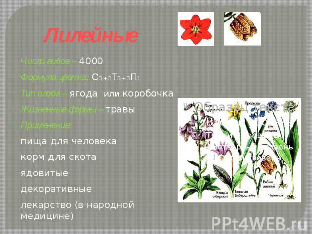 Лилейные Число видов – 4000Формула цветка: О3+3Т3+3П1 Тип плода – ягода или коробочкаЖизненные формы – травы Применение: пища для человекакорм для скотаядовитыедекоративныелекарство (в народной медицине)