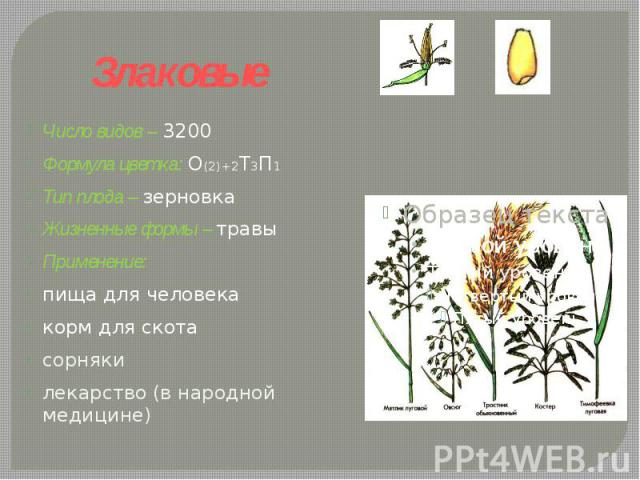 Злаковые Число видов – 3200Формула цветка: О(2)+2Т3П1 Тип плода – зерновкаЖизненные формы – травы Применение: пища для человекакорм для скотасорнякилекарство (в народной медицине)