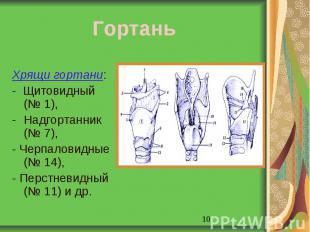 Гортань Хрящи гортани: - Щитовидный (№ 1),Надгортанник (№ 7), - Черпаловидные (№
