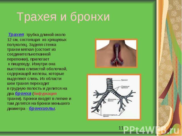 Трахея и бронхи Трахея - трубка длиной около12 см, состоящая из хрящевыхполуколец. Задняя стенкатрахеи мягкая (состоит изсоединительнотканнойперепонки), прилегает к пищеводу. Изнутри онавыстлана слизистой оболочкой,содержащей железы, которыевыделяют…