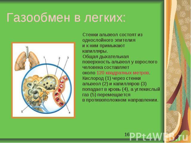 Газообмен в легких: Стенки альвеол состоят изоднослойного эпителия и к ним примыкаюткапилляры. Общая дыхательнаяповерхность альвеол у взрослогочеловека составляетоколо 120 квадратных метров.Кислород (1) через стенкиальвеол (2) и капилляров (3)попада…