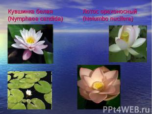 Кувшинка белая (Nymphaea candida)Лотос oрехоносный (Nelumbo nucifera)