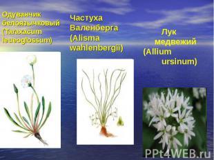 Одуванчик белоязычковый (Taraxacum leueoglossum)Частуха Валенберга (Alisma wahle