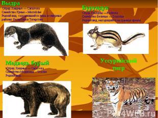 Выдра Отряд Хищные — Carnivora Семейство Куньи – MustelidaeРедкий вид, сохранивш